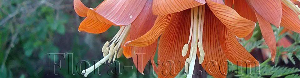 Flora of Iran  |   فلور ایران